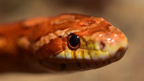 An Orange Colored Snake
